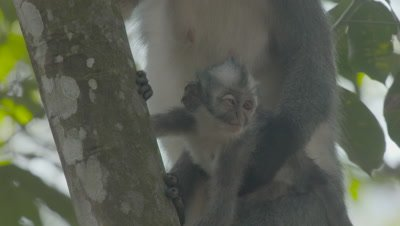 Baby Thomas Leaf Monkey with mother; baby has a bad eye, possibly from fighting