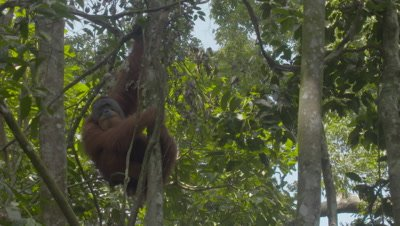 Close up on the face of a male Sumatran Orangutan hanging from a tree