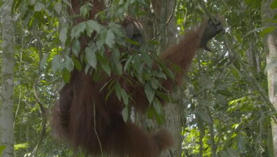 Male Sumatran Orangutan hanging in a tree above a Crab-eating Macaque feeding on fruit on the forest floor