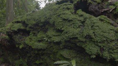 Slider shot of Rotting log containing Rhinocerous Beetle larvae