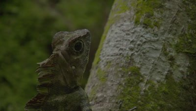 Lizard resting on large tree roots; camera tilts from head to tail