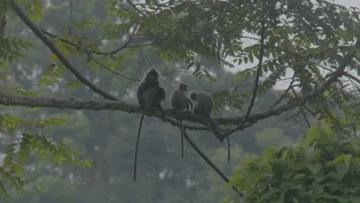 Three adult Silvery Lutungs sitting on a branch in a tree, one leaves