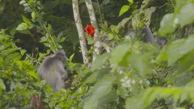 Group of Silvery Lutungs feeding amongst thick trees; bright red flower on tree in background