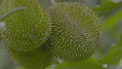 Durian Fruit growing in the Sumatran rainforest