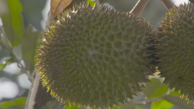 Sun shinging on Durian Fruit growing in the Sumatran rainforest