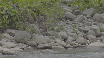 Crab-eating Macaque troop emerges from forest and plays on rock beach