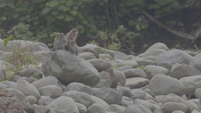Crab-eating Macaques resting and playing on a rock beach in the Sumatran rainforest