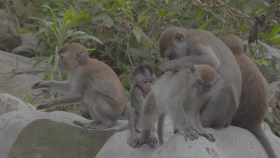 Adult and baby Crab-eating Macaques grooming on a rock beach in the Sumatran rainforest