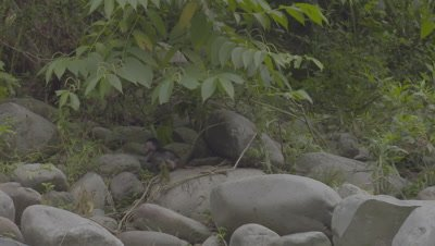 Baby Crab-eating Macaque playing, jumping and grabbing low hanging leaves on a rock beach