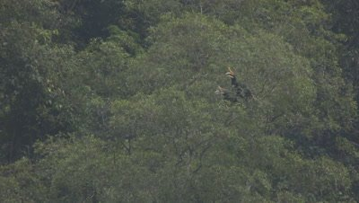 Two Rhinoceros Hornbills perched in a tree; one takes flight and perches on a different tree