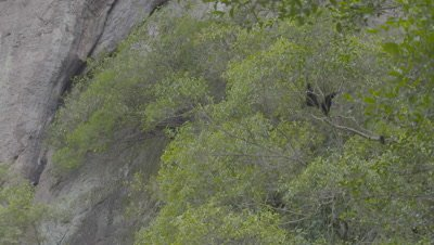 Two adult Siamangs sitting in tree in front of a rocky mountainside
