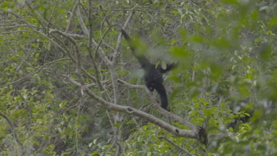 Adult Siamang moving very quickly along a tree branch; second Siamang runs off