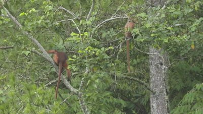 Three Sumatran Surili Monkeys sitting in a tree feeding on leaves; one adult female moves very slowly along branch
