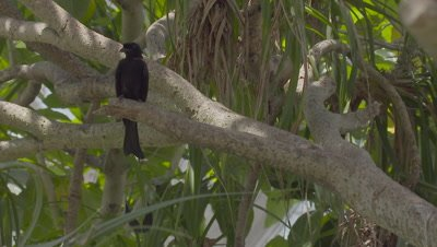 Greater Racket-tailed Drongo perched in a tree at the Bali Bird Park
