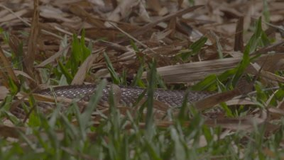 Juvenile Javan Spitting Cobra slithers through the grass at the Bali Reptile Park