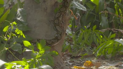 Large adult female Reticulated Python climbing a tree at the Bali Reptile Park