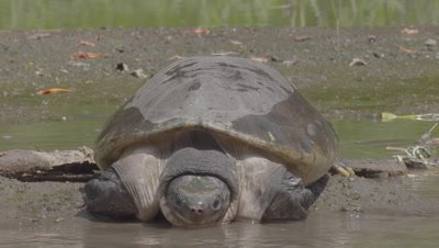 Northern River Terrapin in the shallow muddy water at the Bali Zoo