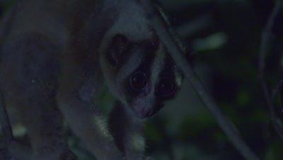 Sunda Slow Loris sitting in a tree at night at the Bali Zoo