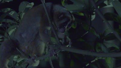 Sunda Slow Loris climbing towards an insect in a tree at night at the Bali Zoo