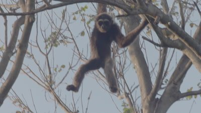 Agile Gibbon climbing in a tree at the Bali Zoo