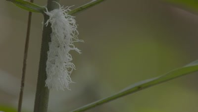 White fuzzy Caterpillar feeding on a leaf