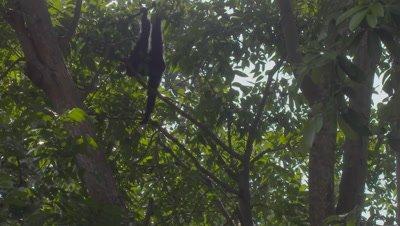 Siamang climbing down a tree at the Bali Zoo