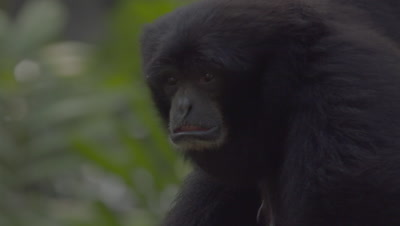 Close up on the head and gular sac (throat pouch) of a Siamang  at the Bali Zoo