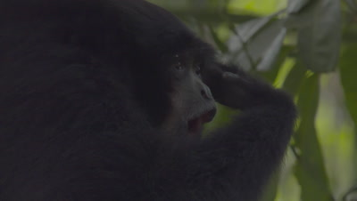 Siamang calling using gular sac (throat pouch) at the Bali Zoo