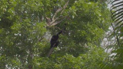 Siamang climbing up a tree at the Bali Zoo