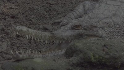 False Gharial resting in the mud with jaws wide open at the Bali Zoo