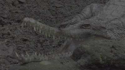 False Gharial resting in the mud, opening and closing its jaws at the Bali Zoo