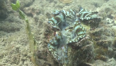 Close up of the beautiful mantle of a Giant Clam