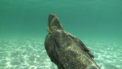 Water Monitor playing dead on the sandy sea bed swims up to the ocean surface