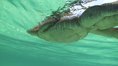 View from below of a Water Monitor swimming at the ocean surface