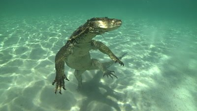 Water Monitor playing dead hovers over the sandy sea bed, swims away when the camera gets too close