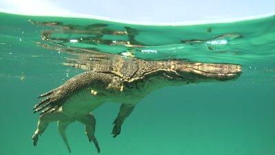 Water Monitor swimming at the ocean surface close to camera, tastes the air