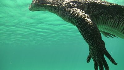 Close up of Water Monitor claws and foot as it swims at the ocean surface above a sandy sea bed