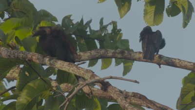 Two female Asian Black Hornbills perched in a tree, preening