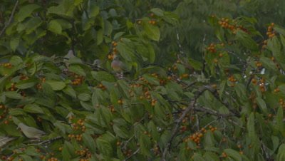 Pink-Necked Green pigeons foraging in a fruiting tree