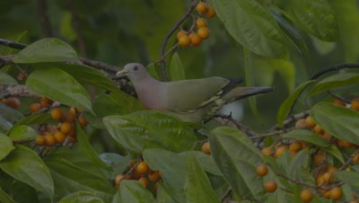Male Pink-necked Green Pigeon foraging in a fruiting tree; holds fruit in mouth