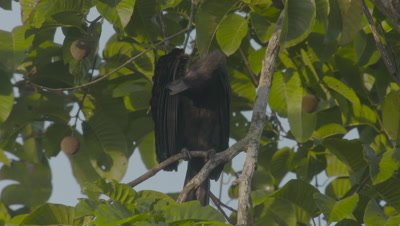 Female Asian Black Hornbill preening while perched in a fruiting tree
