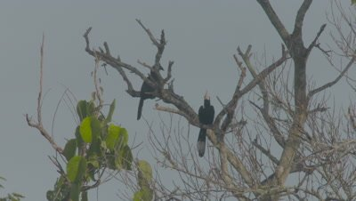 Asian Black Hornbills perched In a tree