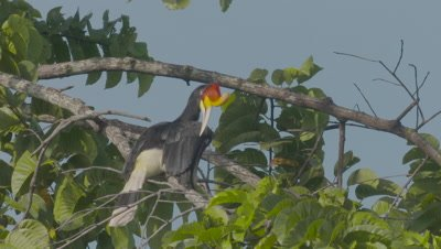 Female Rhinoceros Hornbill preens while perched in a tree