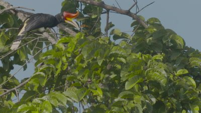 Female Rhinoceros Hornbill perched in a tree