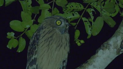 Buffy Fish Owl vocalizes/calls while perched in a tree at night
