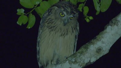 Buffy Fish Owl shakes and preens, bites the bark of a branch while perched in a tree at night