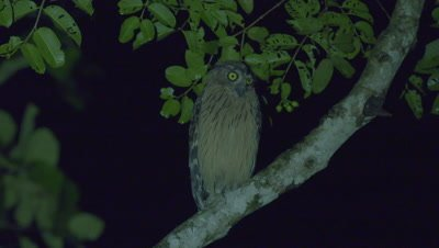 Buffy Fish Owl shakes feathers while perched on a tree branch at night