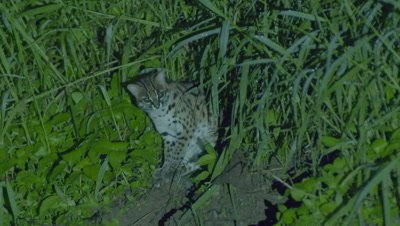Leopard Cat sitting in the grass at night