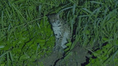 Leopard Cat sitting in the grass at night yawns, then walks away