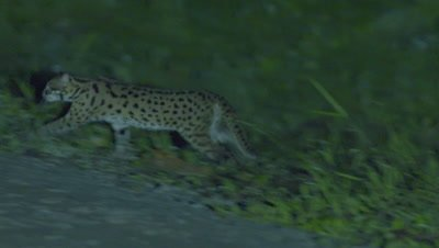 Leopard Cat walks through the grass and across a road at night